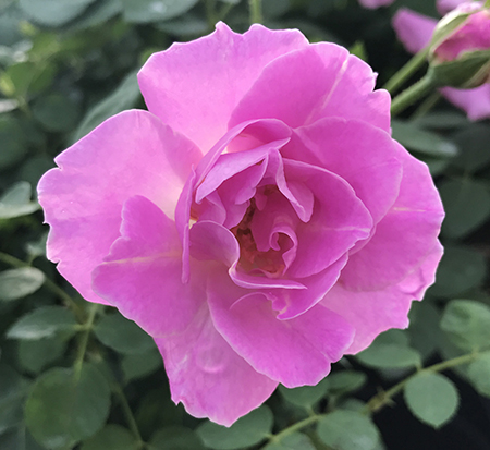 rosa-brindabella-first-lady-rose