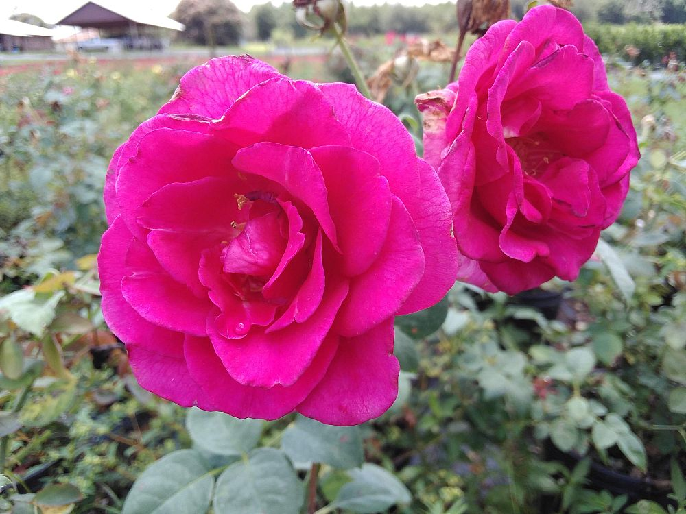 rosa-brindabella-purple-prince-rose