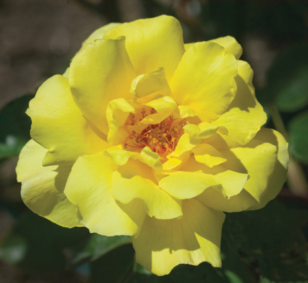rosa-golden-showers-rose