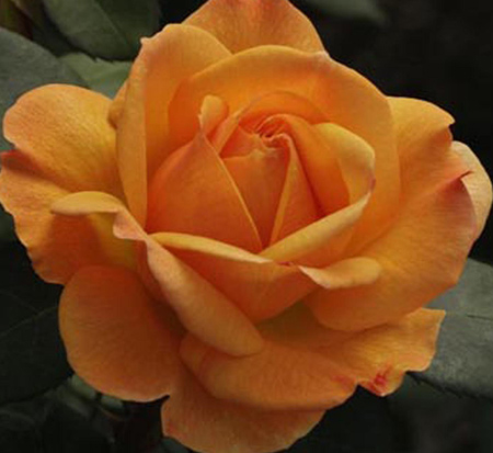 rosa-good-as-gold-hybrid-tea-rose
