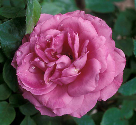 rosa-heirloom-rose