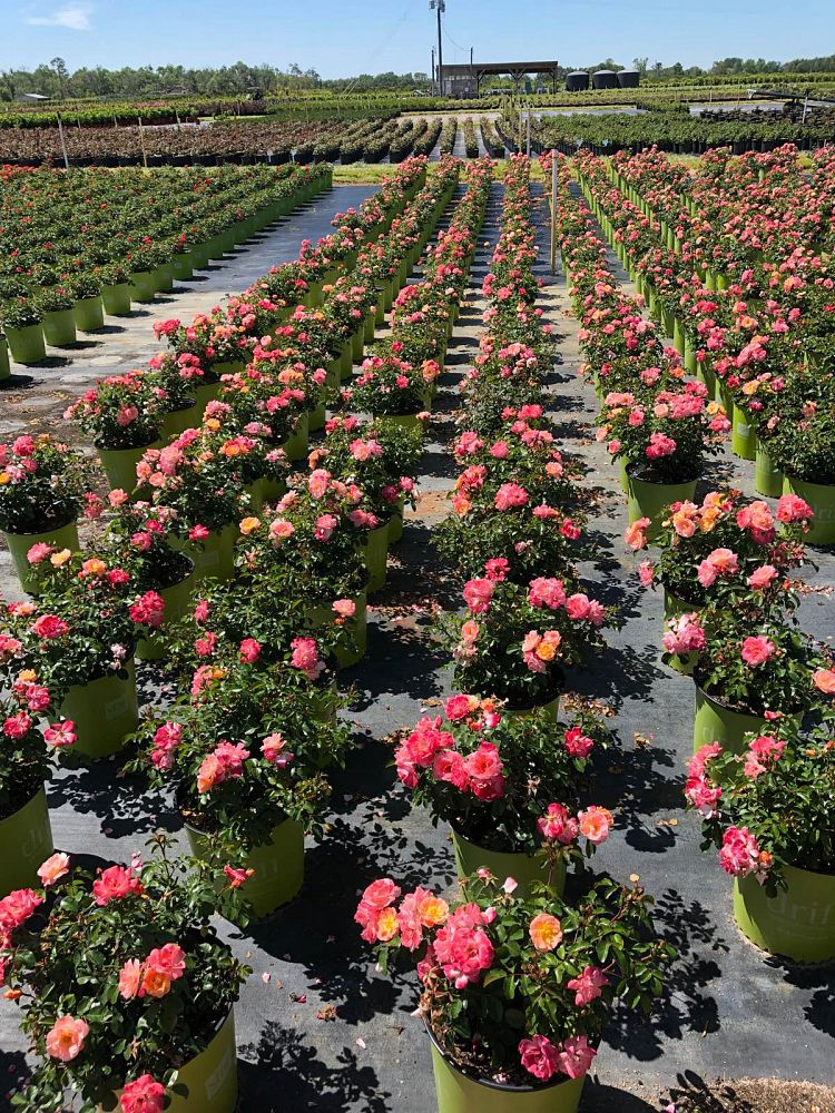 rosa-meiggili-rose-peach-drift-r