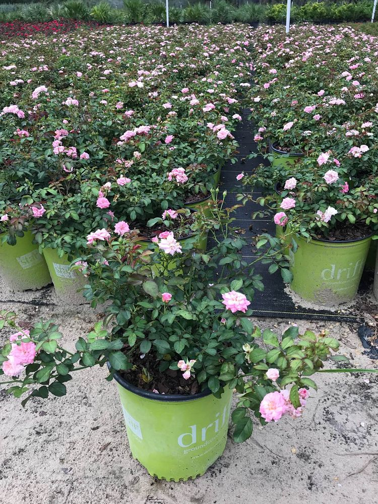 rosa-meiswetdom-rose-sweet-drift-r