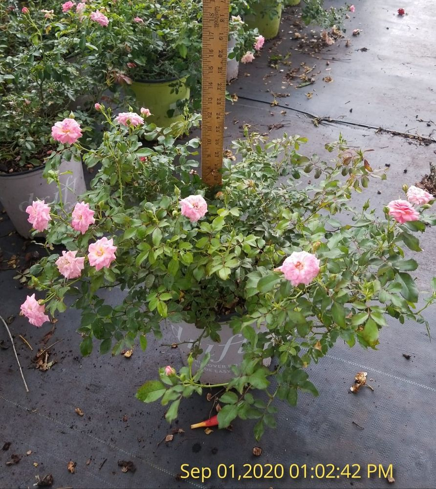 rosa-meiswetdom-sweet-drift-reg-rose