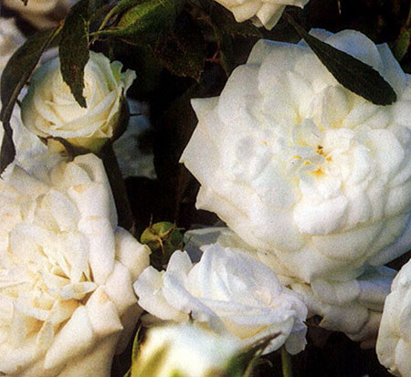 rosa-meizorland-white-drift-reg-rose
