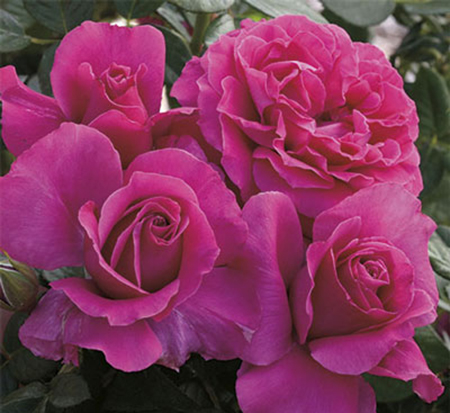 rosa-pretty-lady-floribunda-rose