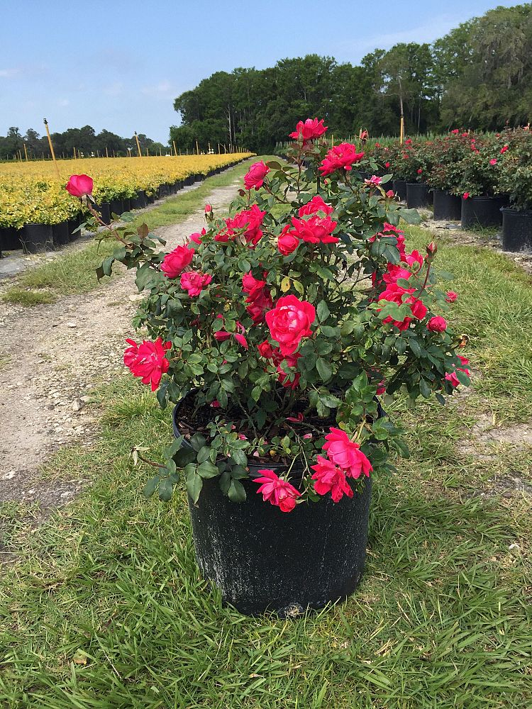rosa-radtko-rose-knock-out-r-double-red-knockout-rose