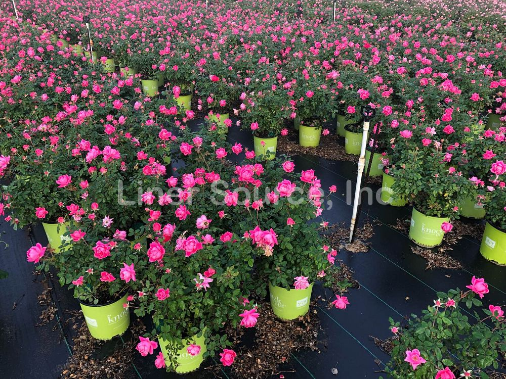 rosa-radtkopink-rose-knock-out-r-double-pink-knockout-rose