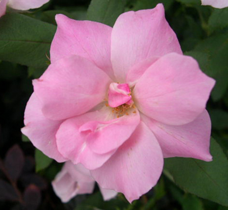 rosa-radyod-blushing-knock-out-reg-rose