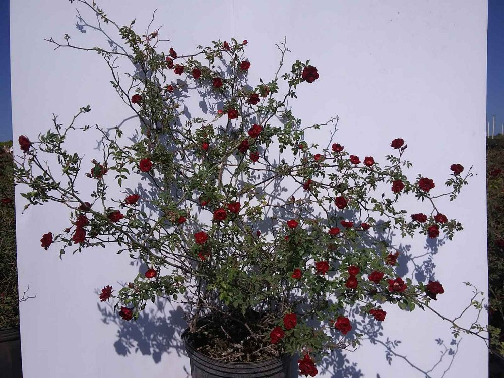 rosa-red-cascade-miniature-climbing-rose