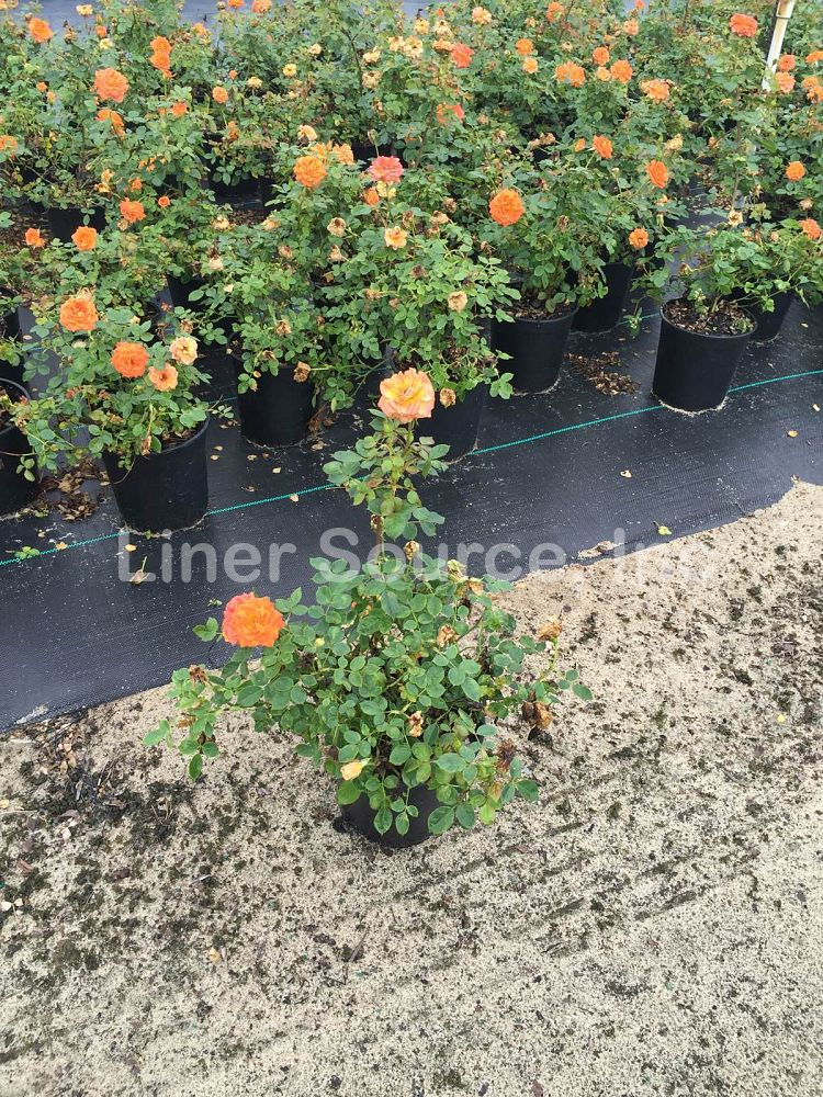 rosa-sunrosa-orange-delight-rose