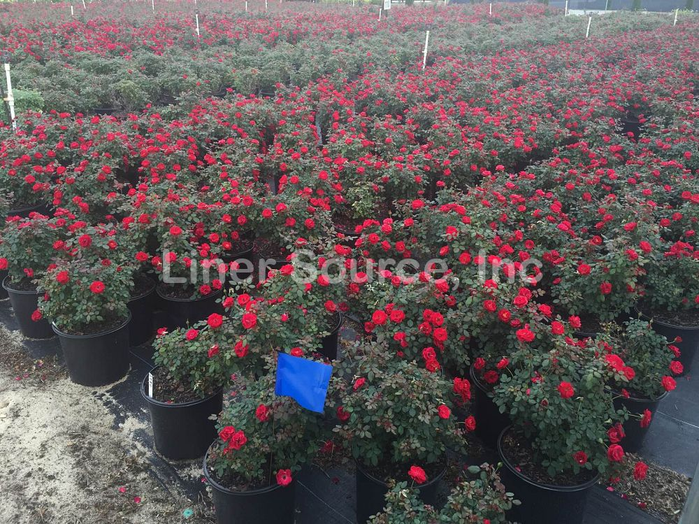 rosa-sunrosa-red-rose
