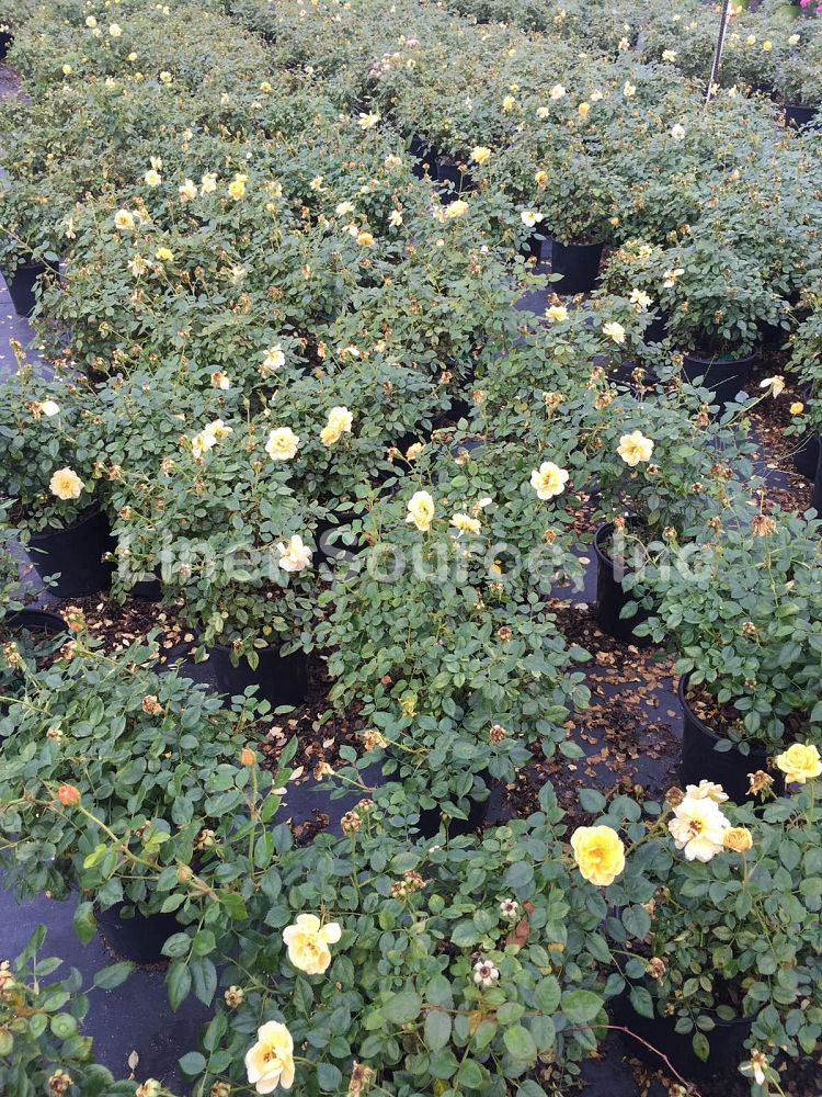 rosa-sunrosa-yellow-rose