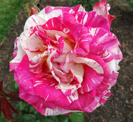 rosa-wekdereroro-weeks-rose-neil-diamond