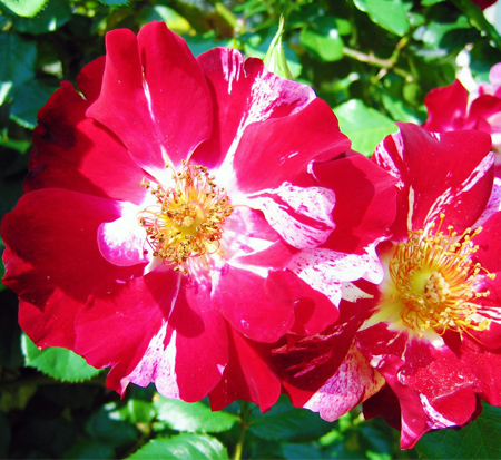 rosa-wekroalt-weeks-rose-fourth-of-july