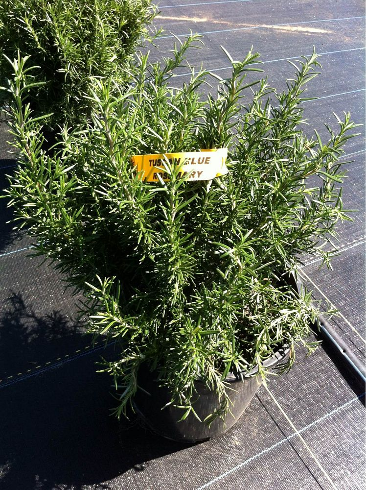 rosmarinus-officinalis-tuscan-blue-rosemary