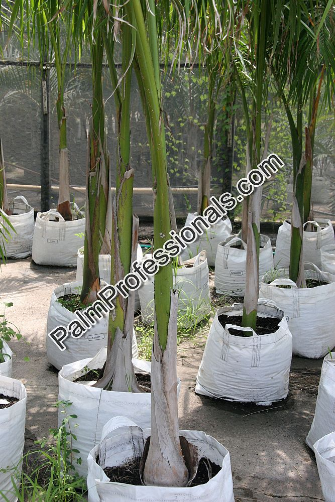 roystonea-regia-roystonea-elata-florida-royal-palm-cuban-royal-palm-royal-palm