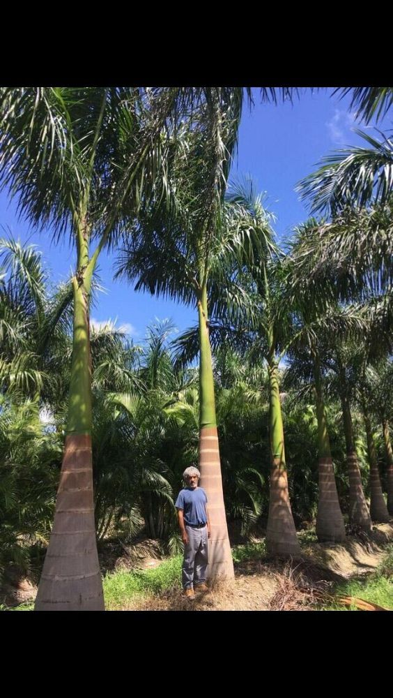 roystonea-royal-palm