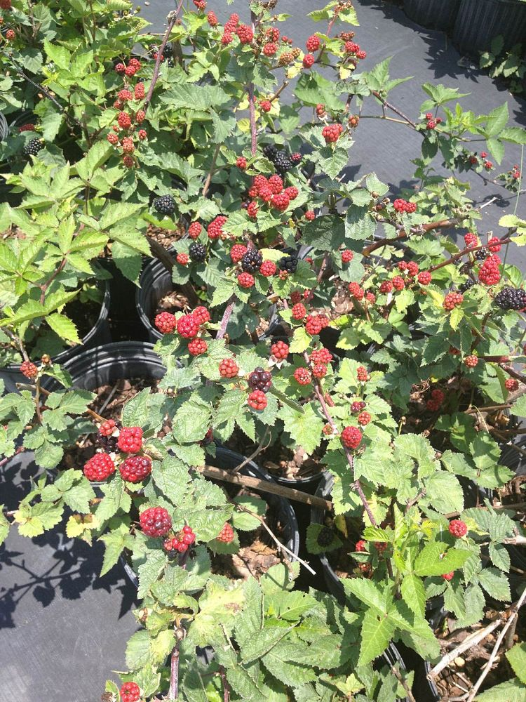 rubus-arapaho-blackberry-edible