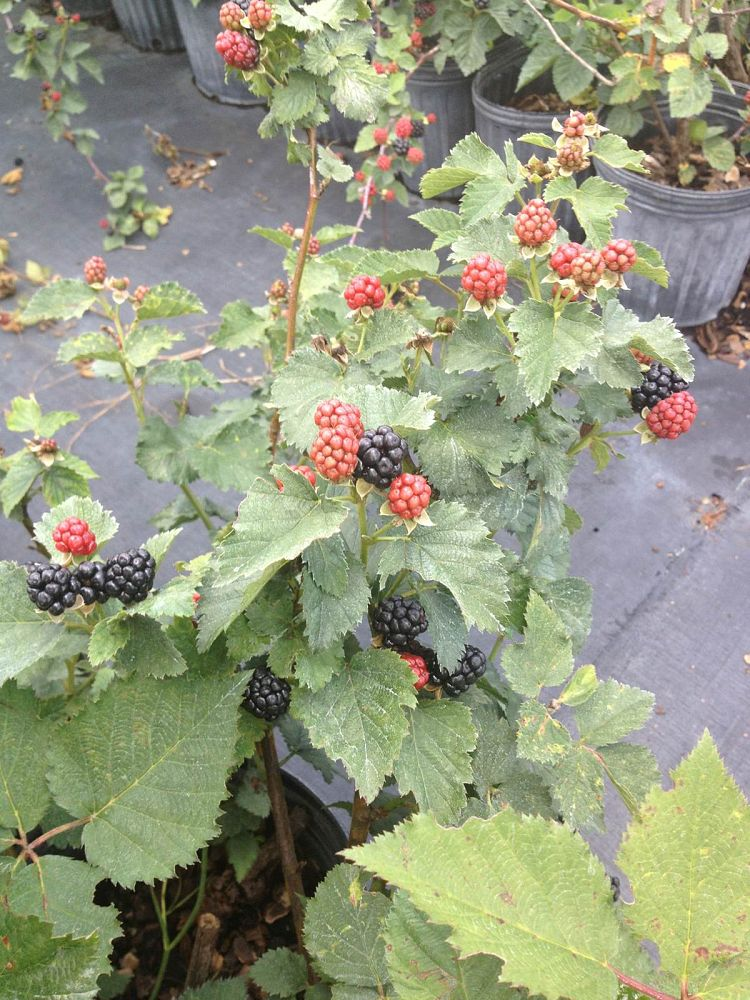 rubus-navaho-blackberry-edible