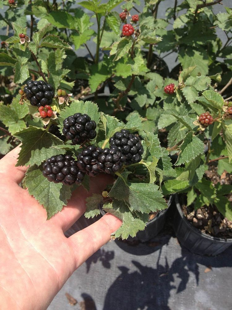 rubus-ursinus-ouachita-california-blackberry-edible