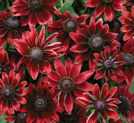 rudbeckia-hirta-cherry-brandy-black-eyed-susan-yellow-oxeye-daisy