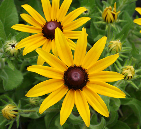 rudbeckia-hirta-indian-summer-black-eyed-susan-yellow-oxeye-daisy