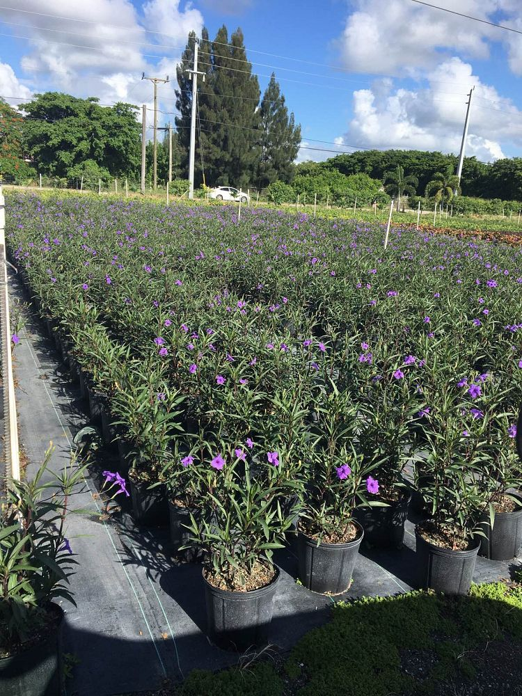 ruellia-brittoniana-purple-showers-mexican-bluebell-mexican-petunia
