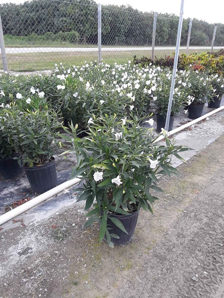ruellia-brittoniana-white-showers-mexican-bluebell