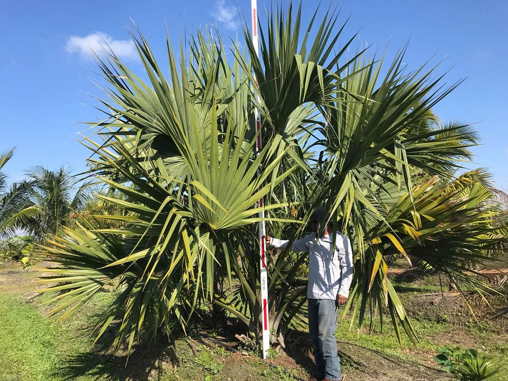 sabal-domingensis-santo-domingo-sabal-palm-dominican-sabal-palm