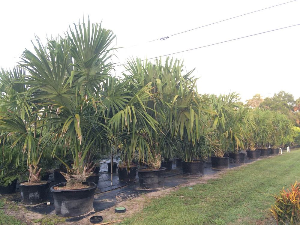 sabal-mauritiiformis-savannah-palm