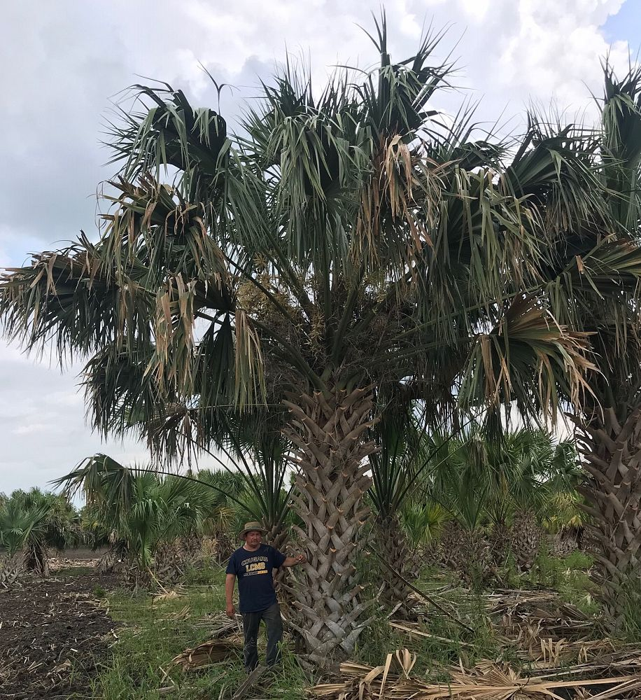 sabal-mexicana-sabal-texana-texas-palmetto-texas-sabal