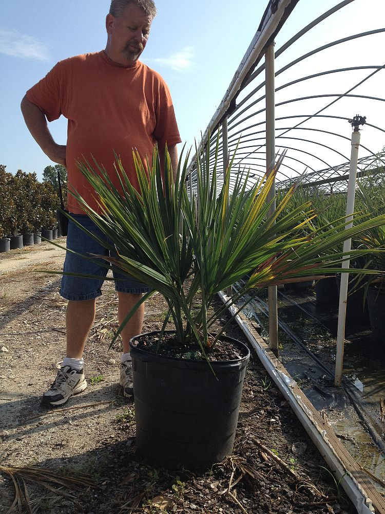 sabal-minor-dwarf-blue-stem-palmetto