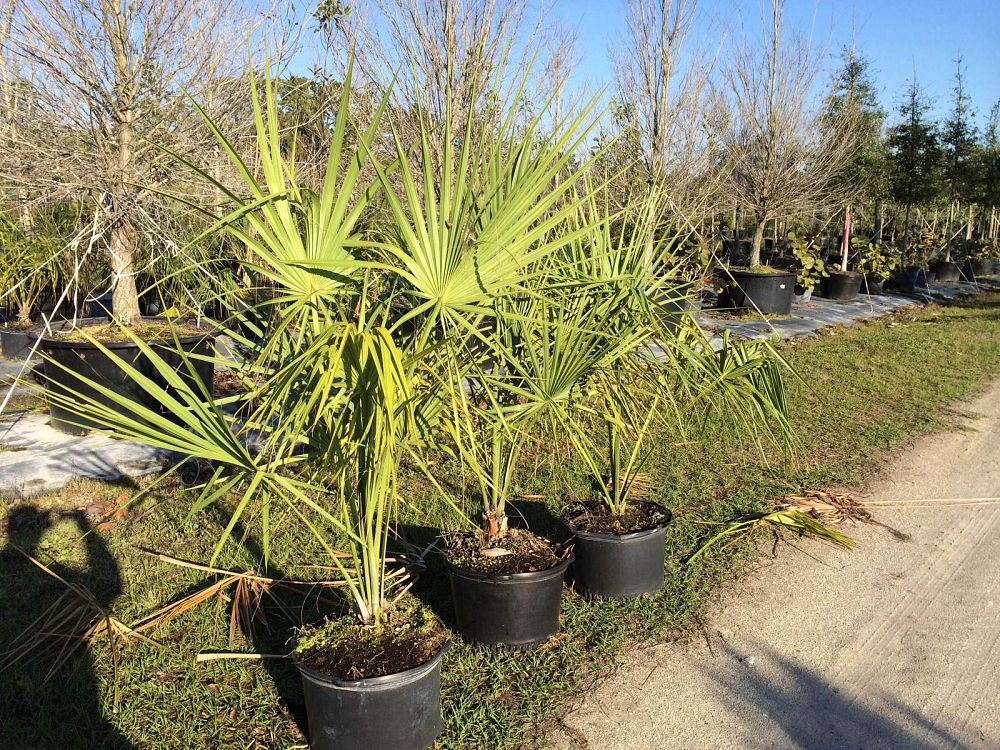 sabal-palmetto-cabbage-palm