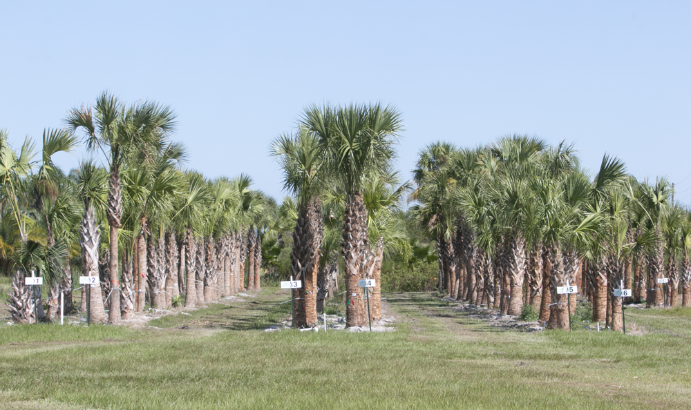 sabal-palmetto-regenerated-cabbage-palm-regenerated