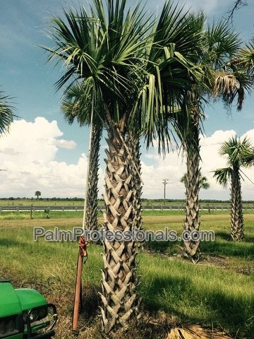 sabal-palmetto-root-enhanced-cabbage-palm-root-enhanced