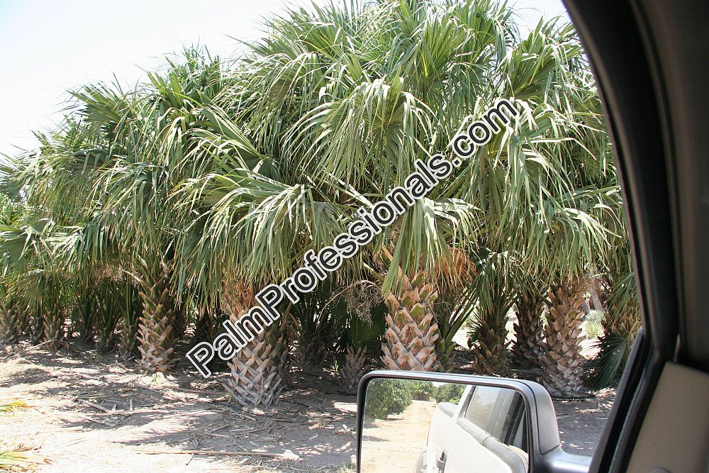 sabal-palmetto