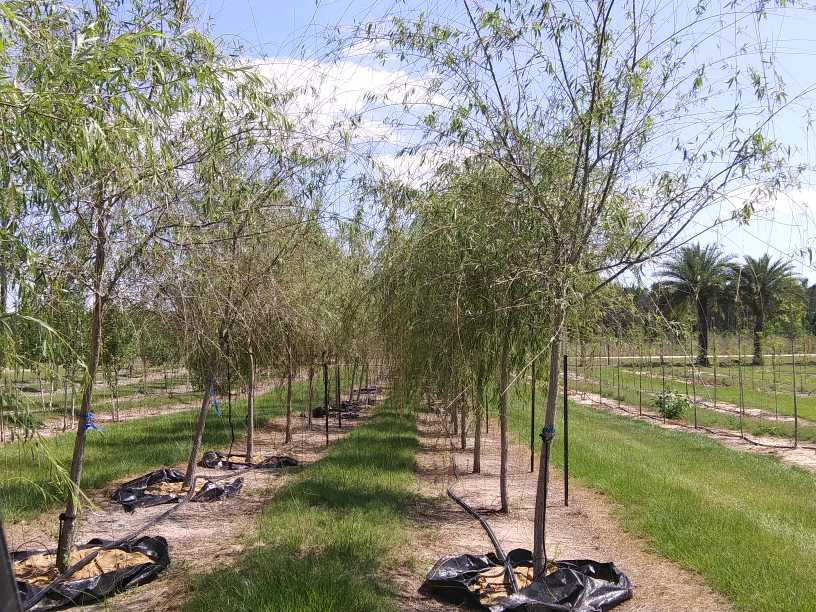 salix-babylonica-weeping-willow
