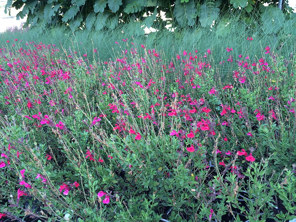 salvia-greggii-furman-s-red-autumn-sage