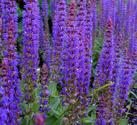 salvia-sylvestris-mainacht-balkan-clary-may-night-ornamental-meadow-sage-perennial-woodland-sage-violet-sage