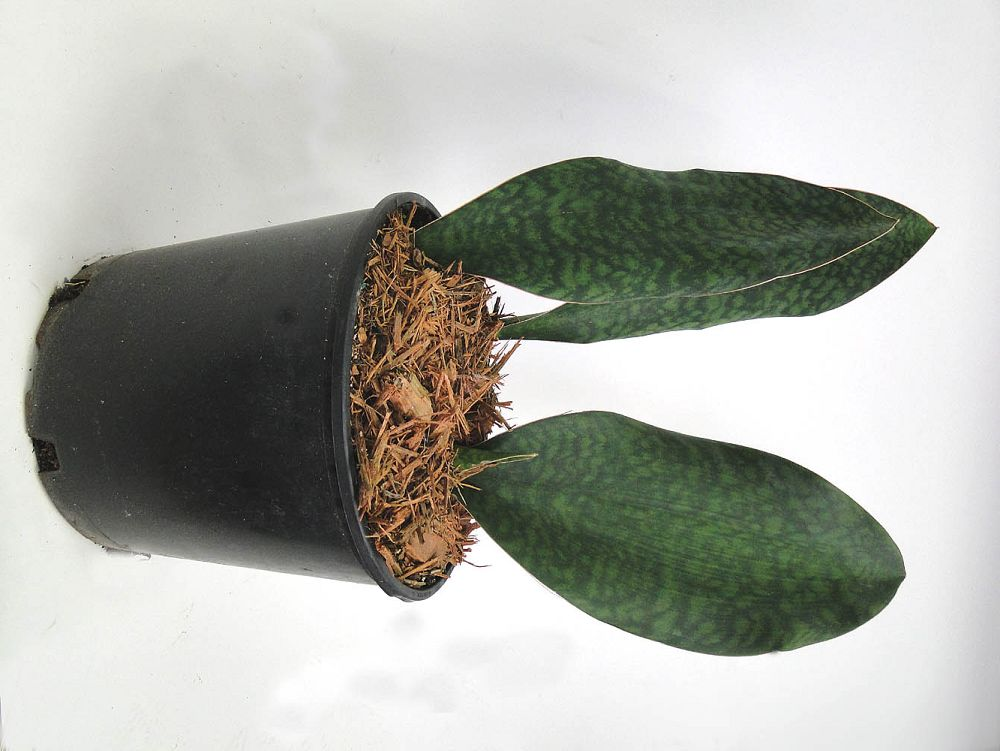 sansevieria-masoniana-whale-fin-snake-plant-mother-in-law-s-tongue-bowstring-hemp