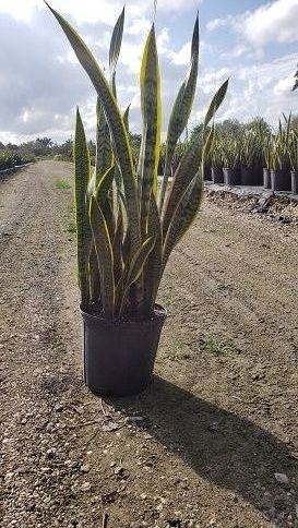 sansevieria-snake-plant-mother-in-law-s-tongue-bowstring-hemp