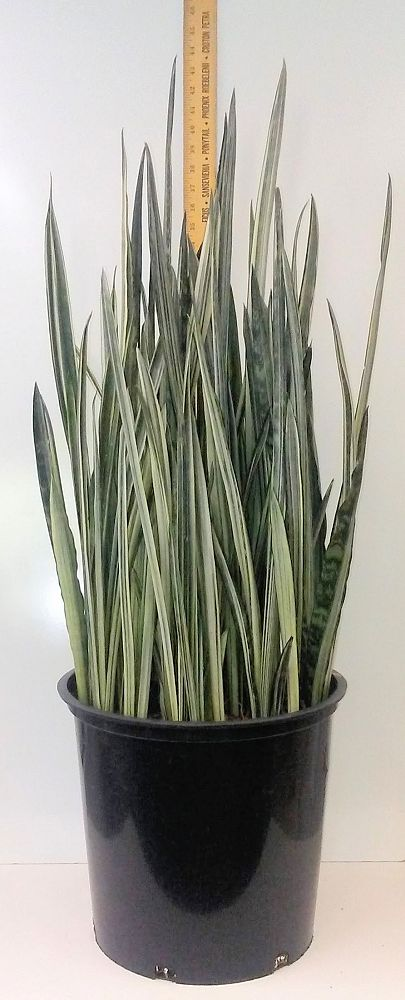 sansevieria-trifasciata-bantel-s-sensation-snake-plant-mother-in-law-s-tongue-bowstring-hemp
