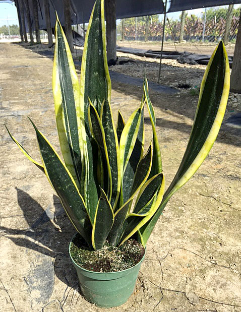 sansevieria-trifasciata-black-gold-snake-plant-mother-in-law-s-tongue-bowstring-hemp
