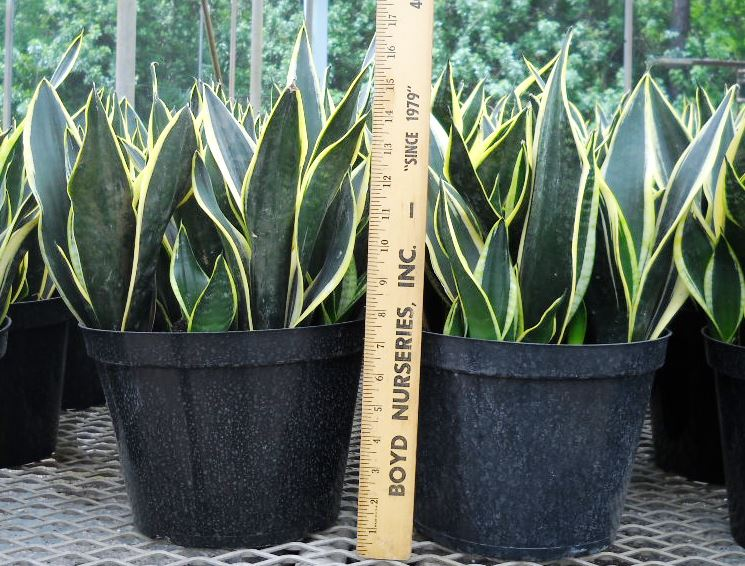 sansevieria-trifasciata-black-gold-superba-snake-plant-mother-in-law-s-tongue-bowstring-hemp