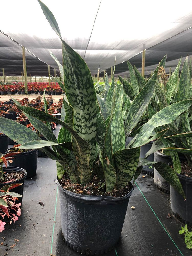 sansevieria-trifasciata-jaboa-snake-plant-mother-in-law-s-tongue-bowstring-hemp