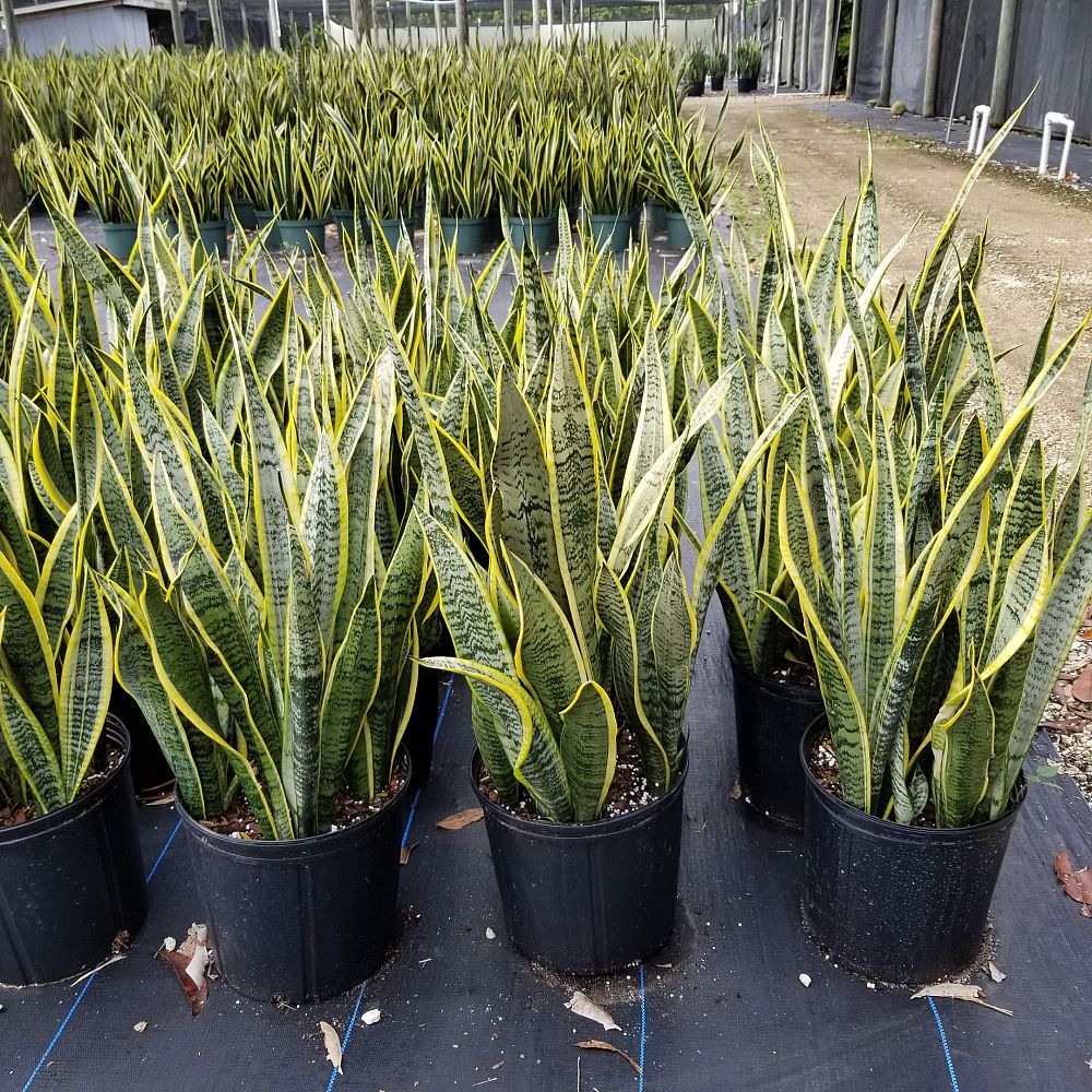 sansevieria-trifasciata-laurentii-snake-plant-mother-in-law-s-tongue-bowstring-hemp