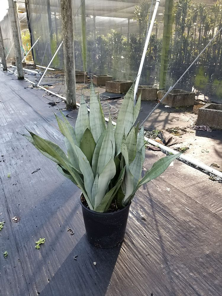 sansevieria-trifasciata-moonshine-snake-plant-mother-in-law-s-tongue-bowstring-hemp