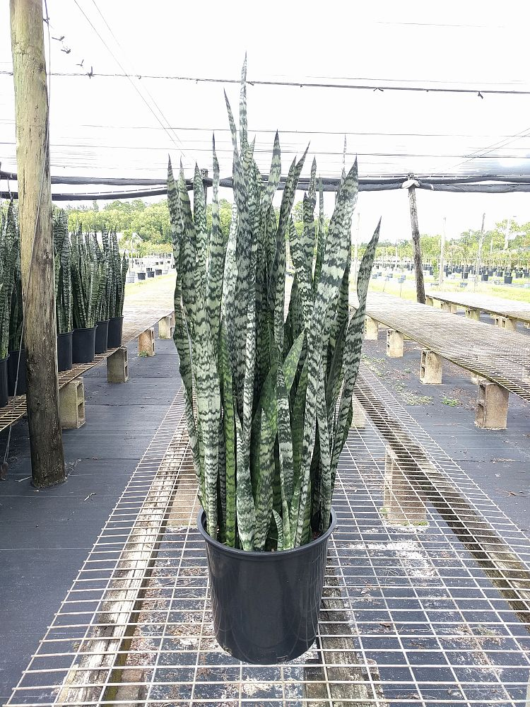 sansevieria-winter-green-snake-plant-mother-in-law-s-tongue-bowstring-hemp