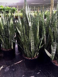 sansevieria-zeylanica-snake-plant-mother-in-law-s-tongue-bowstring-hemp